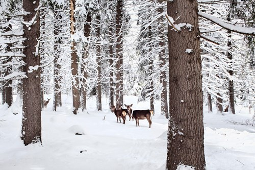 Madonna di Campiglio ski resort-Italy-deer in the snowy trees