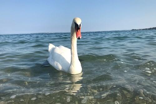 Lake-Garda-Italy-Swan