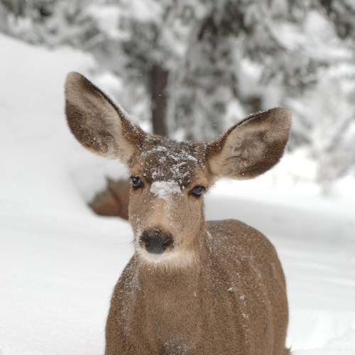 deer standing in snow, Banff National Park