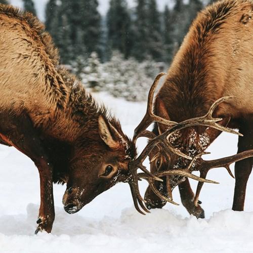 Wild elk fighting during mating season