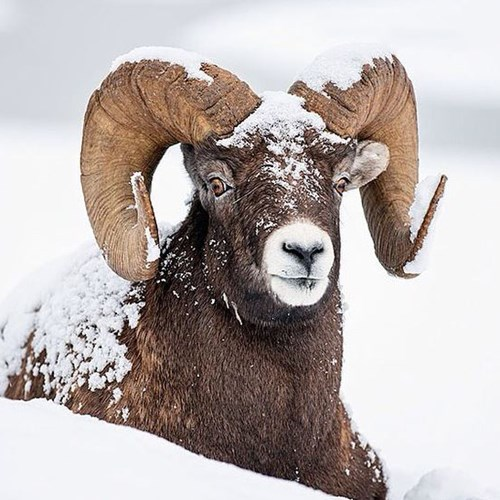 Wild bighorn sheep lay in the snow, Banff National Park