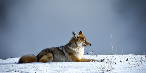 Wild coyote sitting on the snow