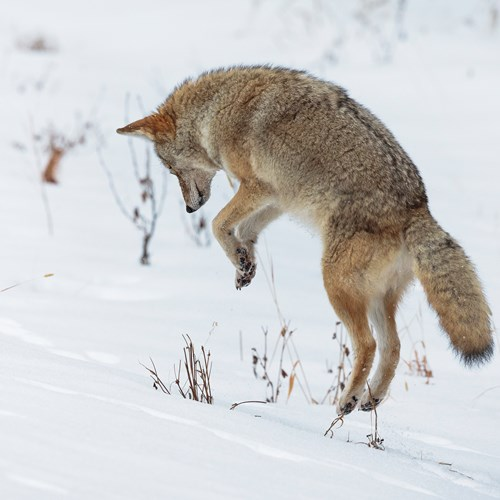 Wild Coyote hunting in the snow, Banff National Park