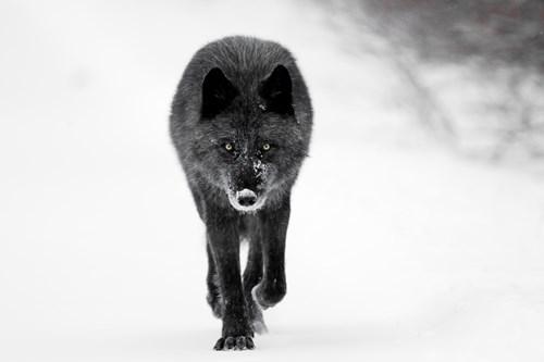 Wolf-black-Alberta.jpg