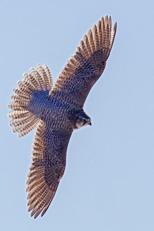 bird-of-pray-Alberta.jpg