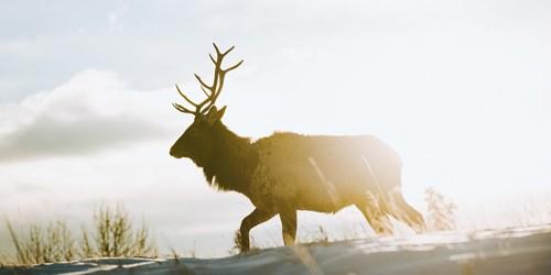 Elk-sunrise-Alberta.jpg