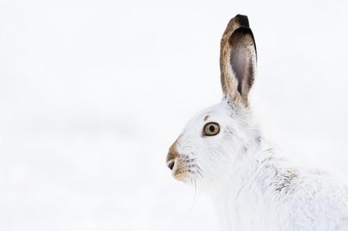 har-rabbit-Alberta.jpg
