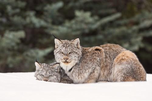 Lynx-Alberta.jpg