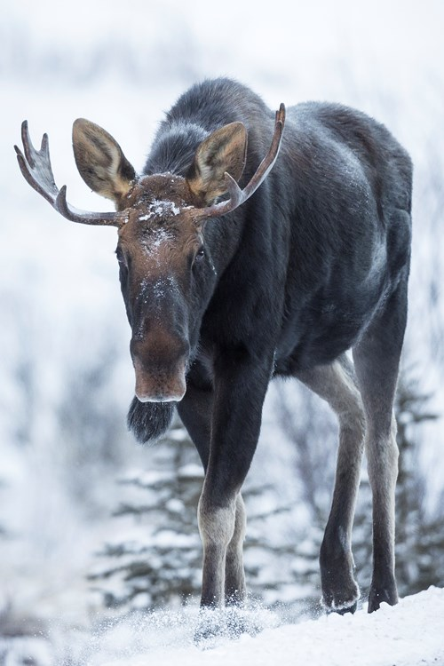 Moose-Alberta.jpg