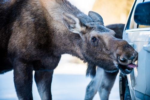 Moose-licking-a-car-Alberta.jpg