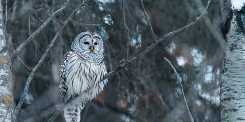 Owl-Alberta.jpg