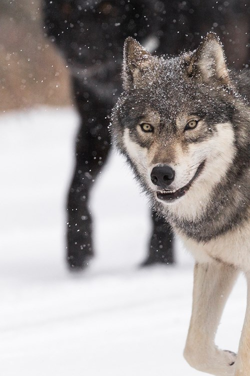 Wolf-banner-Alberta-6250x2500.jpg