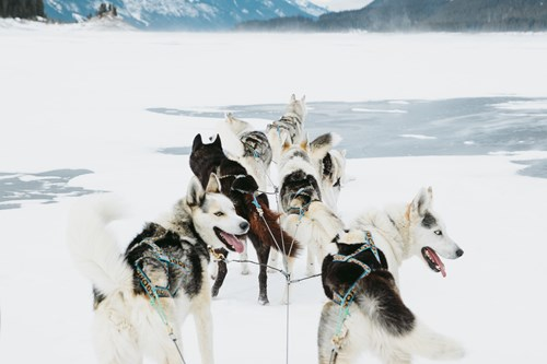 huskies on a frozen lake in Banff and Lake Louise