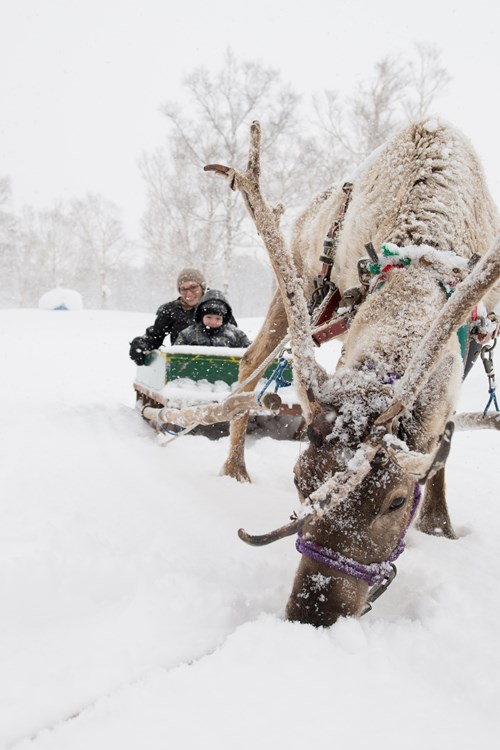 Reindeer sleigh ride through the snow in Niseko ski resort, Japan