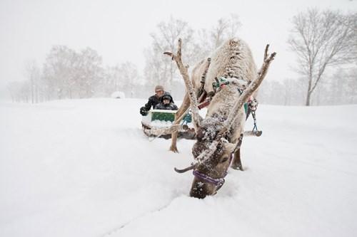 Reindeer sledging in Japan