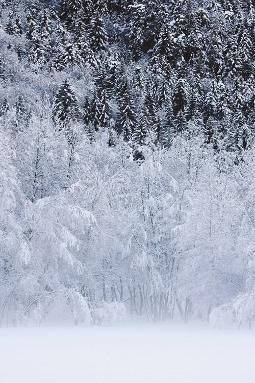 snow-trees-conifers.jpg