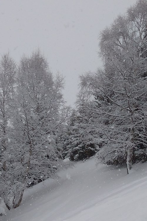 snow trees.jpg