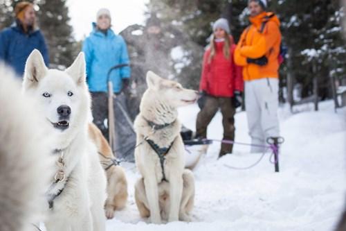 dog sledding white huskies