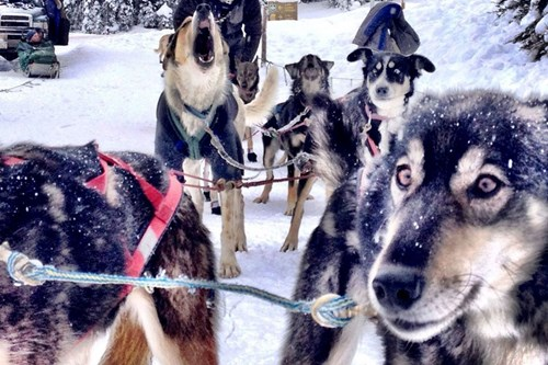 dog sledging in banff