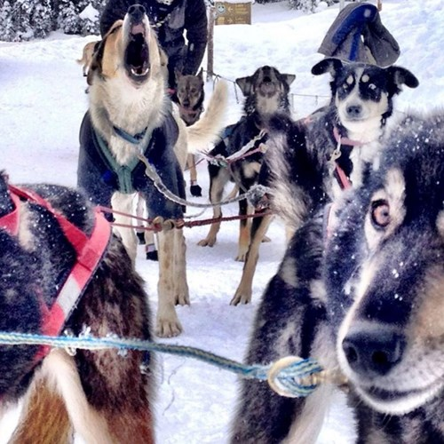 dogsled-dogs-moment-banff-alberta.jpg