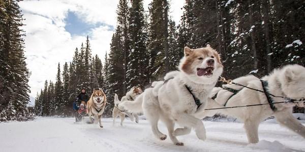 Dog Sledding In Banff And Lake Louise