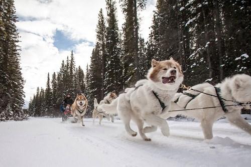 dog sledding banff running dogs