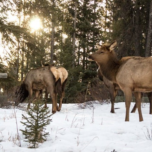 Spring wildlife in Banff