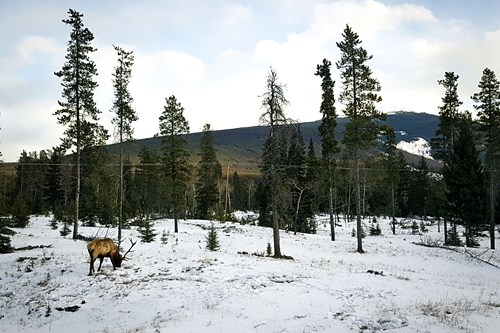 Elk in Banff national park, Alberta