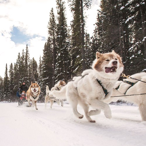 husky sledding on New Year's Day in Banff, Canada